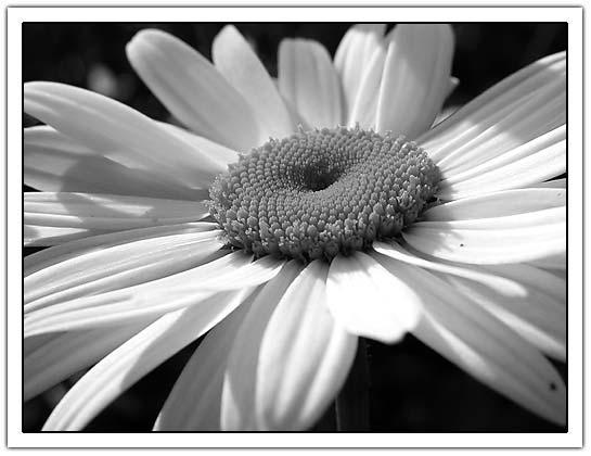 bw-daisy.jpg