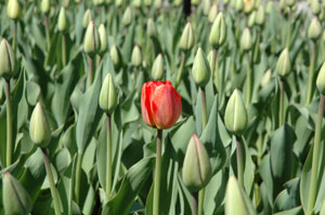single_tulip.jpg