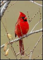northern_cardinal.jpg